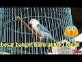 Burung Lovebird Ini Baru Umur  Bulan Tapi Postur Tubuh Besar Banget  Mp3 - Mp4 Download