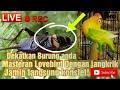 Iive Masteran Lovebird Dengan Jangkrik Ngetik Nonstop Dekatkan Hp Pada Lovebird Agar Konslet  Mp3 - Mp4 Download