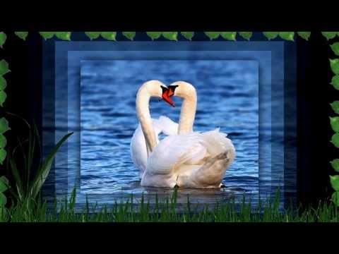 Самые красивые лебеди