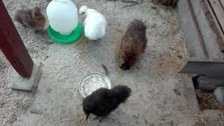 Jak hoduję kury ozdobne. Silki i kochiny miniaturowe.