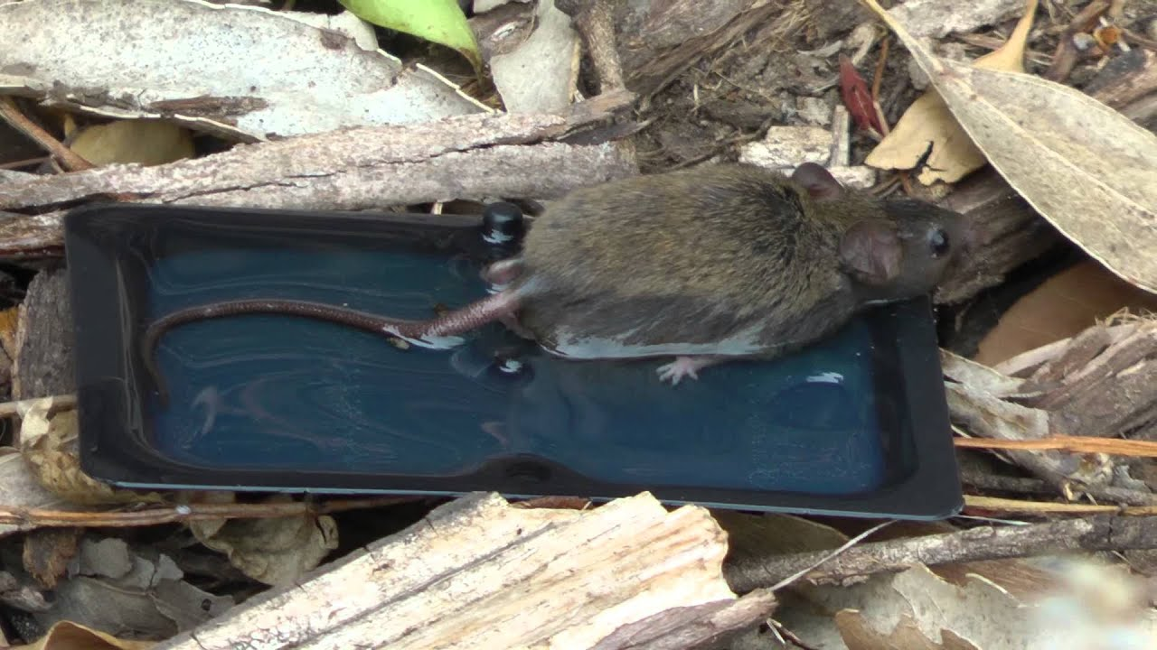 1st Mouse Catch Amp Release Of A Field Mouse With A Glue Trap Amp Canola Oil 1st Mouse