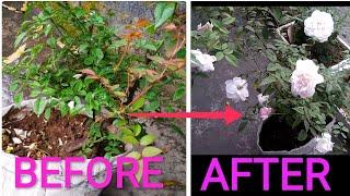 Desi Rose Plant Care For Big Flower  E A A E A  E A B E A   E A  E A  E A B E A Be E A Ac  E A  E A   E A Ac E A Be E A B E A   E A Ae E A