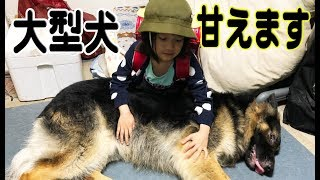 grandchild and #GermanShepherd #dog 大型犬ジャーマンシェパード犬マ...