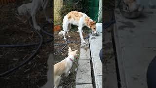 七ヶ月のボルゾイ子犬アリーと3ヶ月のボーダーコリー子犬ジルの裏庭散歩.