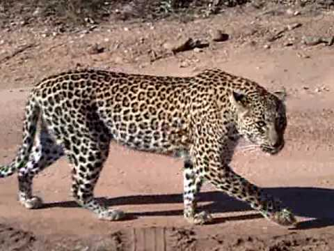 Leopard Roar! - YouTube