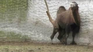 Смешной верблюд видео