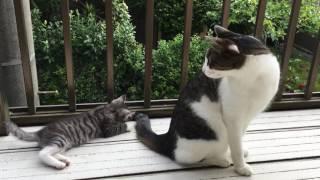 くぅちゃんが我が家にきて22日目 初めてベランダ お兄ちゃん猫レオとじ...