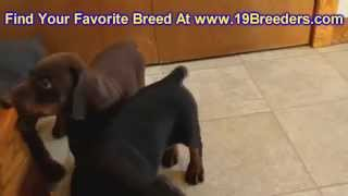 Doberman Pinscher, Puppies, For, Sale, In, Mobile, County, Alabama, Al, Huntsville, Morgan, Calhoun,