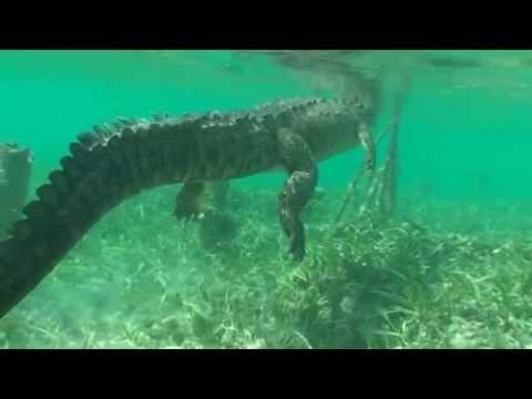 Как плавают крокодилы под водой