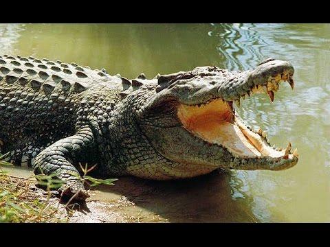 india - Crocodile Hunter caught |मगरमच्छ को पकड़ा | Crocodile attack