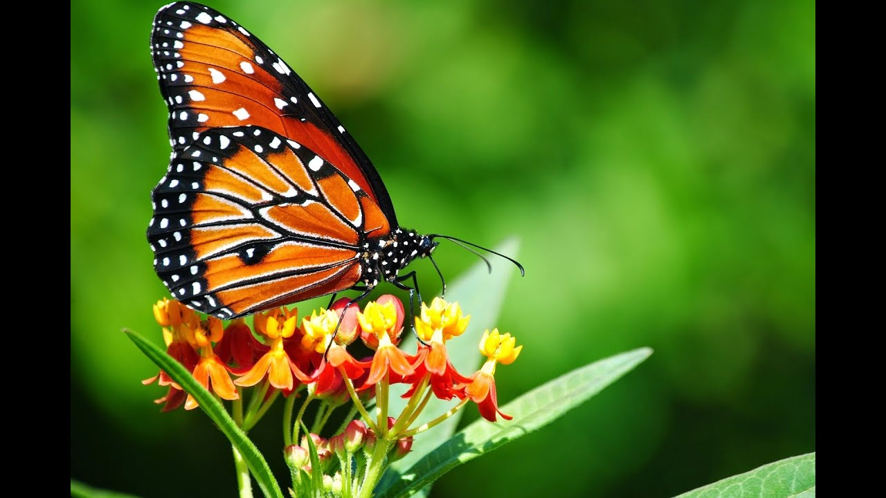 Beautiful Butterfly Video 77