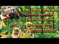 Suara Pikat Semua Burung Paling Ampuh Dan Sudah Terbukti  Mp3 - Mp4 Download