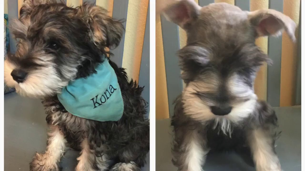 Miniature Schnauzer Has His 1st Haircut