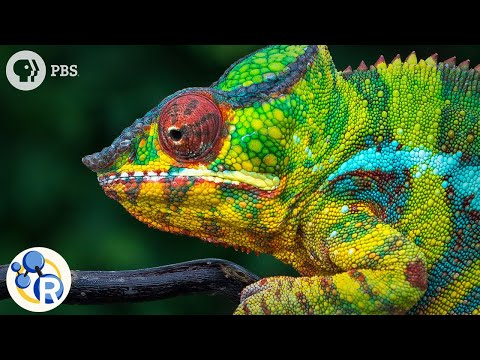 Chameleons Are Masters of Nanotechnology