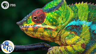 Chameleons Are Masters of Nanotechnology