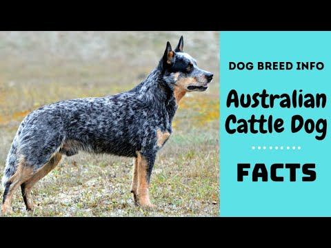 Australian Cattle dog breed. All breed characteristics and facts about Australian Cattle dog