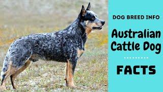 Australian Cattle dog breed. All breed characteristics and facts about Australian Cattle dog