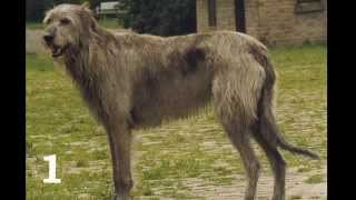 Собаки крупных пород