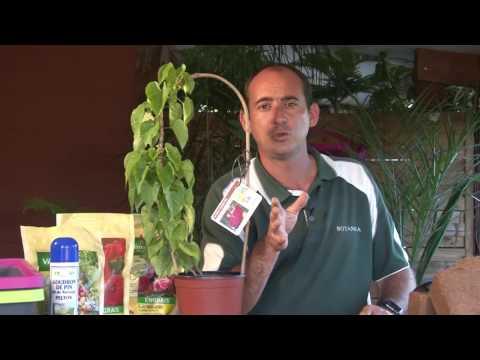 Planter un turbinia inopinata  (Nouvelle-Calédonie)