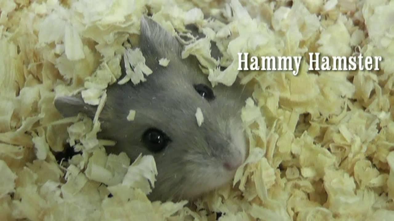 hamster.com adult