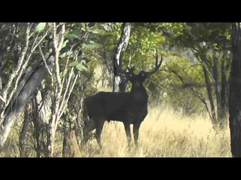 South Pacific Hunter  Rusa deer