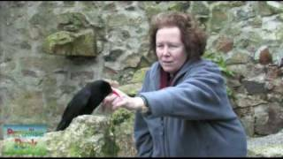 Lee Durrell meets Oggy the Cornish Chough