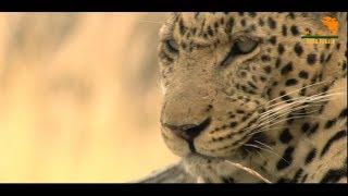 Wild Fauna / leopard / Хищник Африки / Гибель детенышей