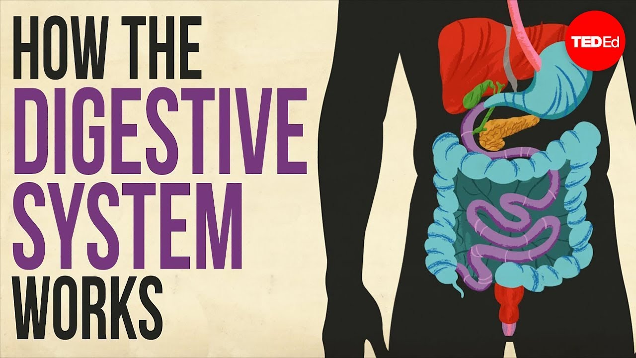 How your digestive system works - Emma Bryce - YouTube [ 720 x 1280 Pixel ]