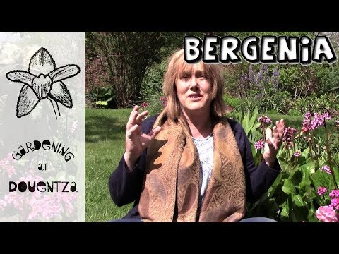 Bergenia Care : 1 Of 30, My Month Of Perennials