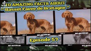 Top 10 amazing facts about 'Basset Fauve de Bretagne'
