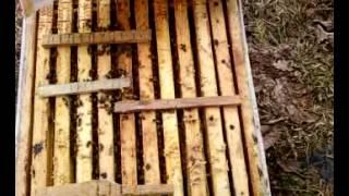 Пчелосемья карника после зимовки 2015 года