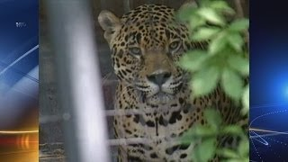 Feds face legal action over jaguar protections