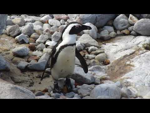 MVI 1739   Pinguinkolonie Bettys Bay