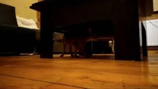 Абиссинский котик продается