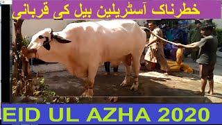 Australian Cow Qurbani Dangerous Biggest Bull Qurbani EidUlAzha-2020 KARACHI TODAY Gulistan e Johar