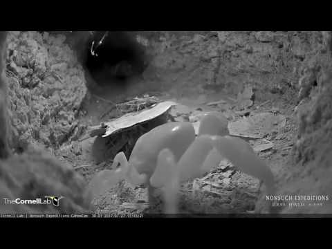Land Crab Visits the Bermuda Cahow Cam Burrow, 27 July 2017