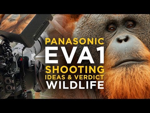 Panasonic EVA1 - Real Life Test & Review with Wildlife Footage