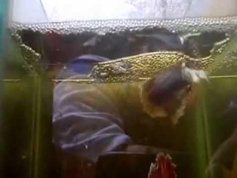 my bettas spawning in 13x13x15CM aquarium