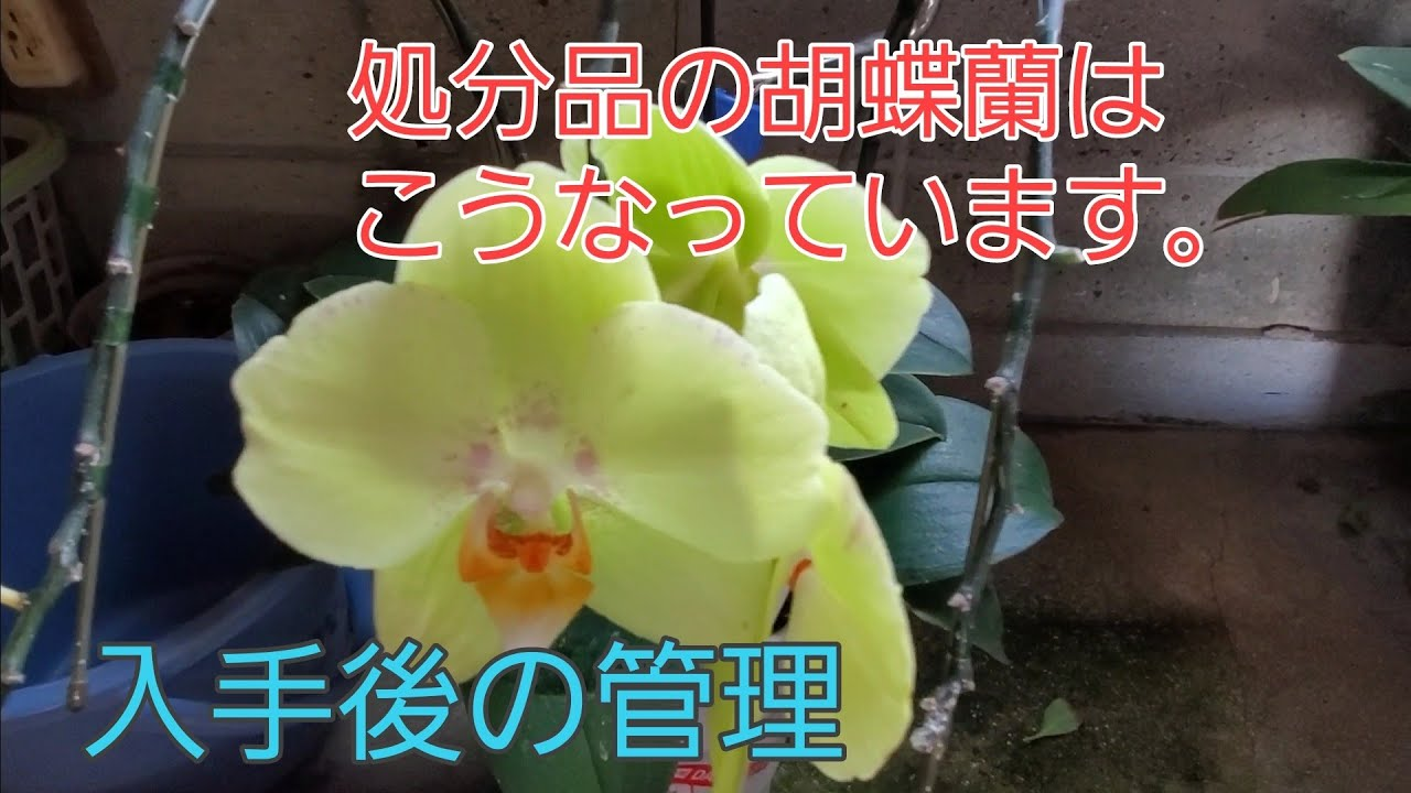 処分品の胡蝶蘭