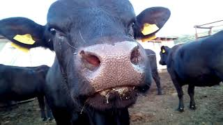 Запустили быка в стадо.Телята  Абердин 2019