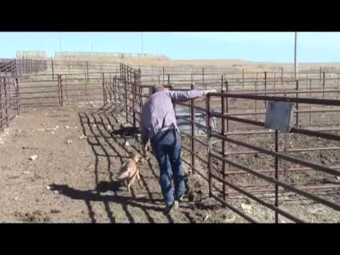 Spader Good Onya Ginger Working Cattle-AKC Red Heeler