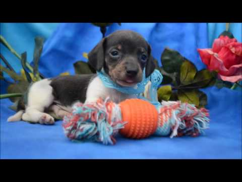Harley AKC Blue Tan Piebald Male Miniature Dachshund Puppy for sale