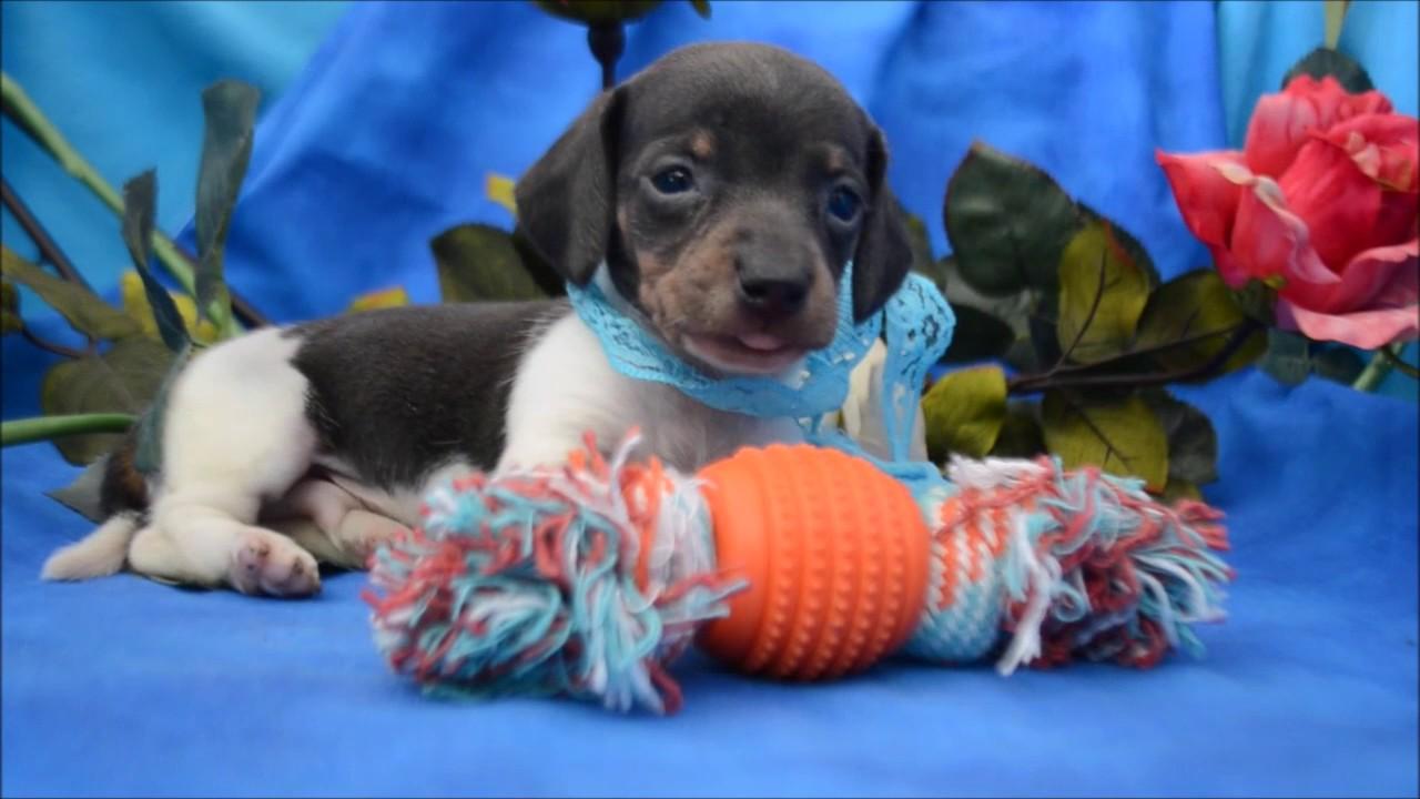 Harley Akc Blue Tan Piebald Male Miniature Dachshund Puppy For Sale