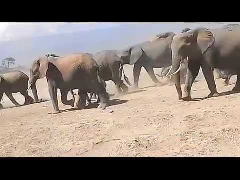 A visit to Amboseli National park. One of the largest herds of elephants.