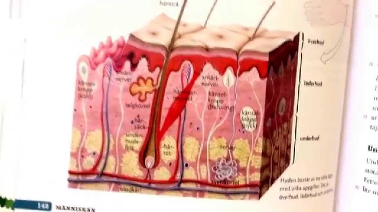 Biologi sid 148 Huden