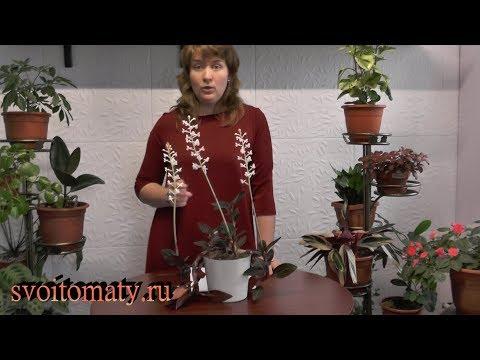 """""""Драгоценная"""" орхидея зацвела.  Выращивание  гемарии (лудизии) дома"""
