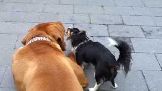 Bordeaux Dog Vs  Pitbull Chihuahua - Chiwawa - Dogue De Bordeaux Et Son Pote Le Chihuahua