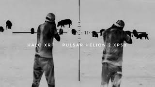 80+ Hogs Down in One Weekend (N-Vision Halo XRF Pulsar Helion 2)