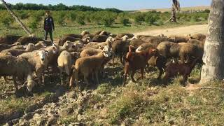 Troupeau de moutons bio a la ferme au Maroc /Herd of sheep in a Moroccan Farm organic livestock