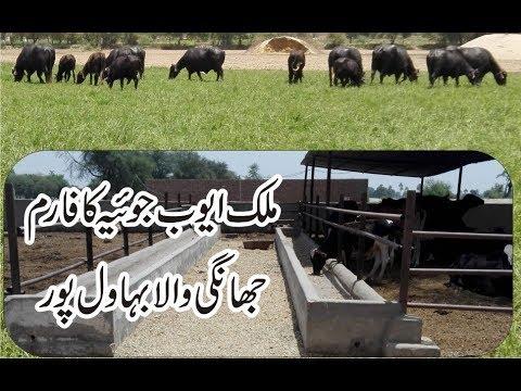 Malik Ayoub Sb Farm Jhange Wala Bahawalpur